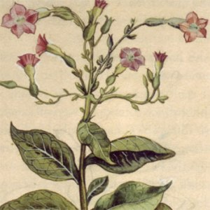 Our ancient enemy . . . The flowers of the tobacco plant, by Leonhart Fuchs (1501-1566), a German professor of medicine.