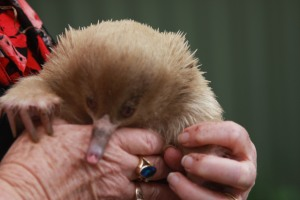 Good news: A rare white echidna saved by Rhonda and Bill.