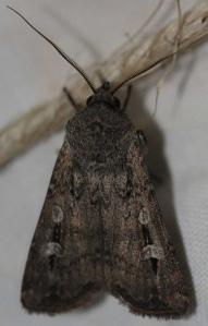 Bogong moth.